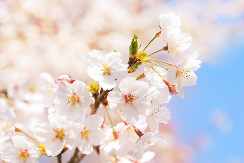 コロナ禍でも咲き誇る桜
